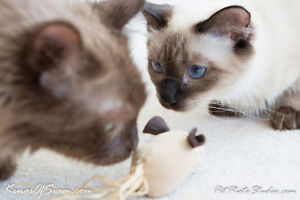 Exotic Longhair - Chantilly Tiffany kittens