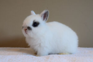 Adorable purebred Netherland Dwarf baby bunnies for sale