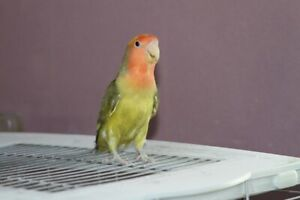 Beautiful peach-faced lovebird needs a new home