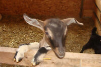 Buckling Goats for Sale