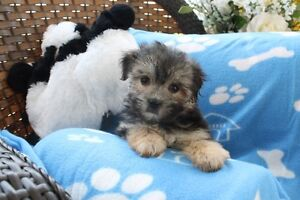 CHIOTS MORKIE / MORKIE PUPPIES