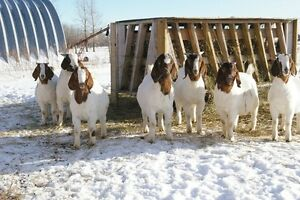 2 GOOD YOUNG BOER GOAT BUCK KIDS FOR BUTCHER