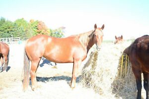 5 year old mare offered for sale - OVER 16HH