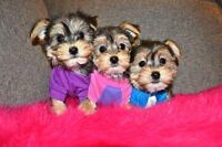 ADORABLE TEDDY BEAR MORKIE PUPPIES 416-820-4666