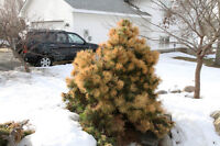 Anti Desiccant, Evergreen Tree and Shrub Winter proofing