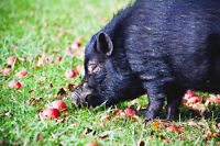 Loving Male Miniature Pot Bellied Pig Needing Home