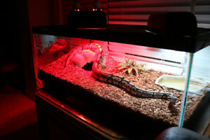 Ball Python With Tank And Accessories