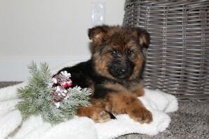 Adorable Pure bred German Shepherd Puppies