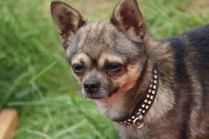 UPDATE Missing 3 year old chihuahua named chico