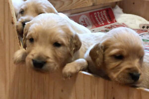 Goldendoodle Puppies ready to go in November