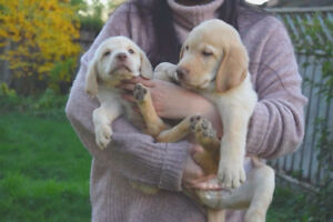 pure Labrador puppies for sale! $800 ONLY