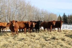 Simmental cross cows for sale