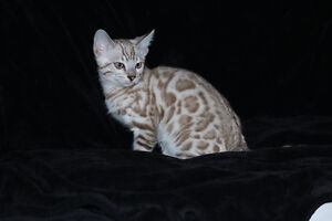 mike chaton bengal male silver snow mink