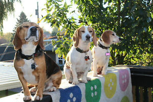 Last Litter: Registered Purebreed Beagles Puppies-Don't Miss Out