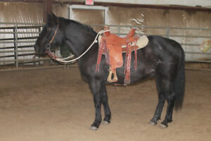 Quiet Registered Solid Paint Blue Roan Gelding NOW WITH VIDEO
