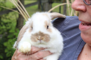 Fuzzy Lop cross Mini Lop baby bunny rabbits