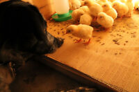 Hatching services Available