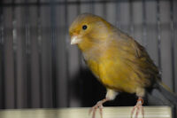 Two Canary hens for sale !