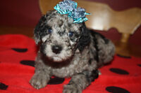 Miniature F1BB Goldendoodle Puppies Seeking Wonderful Homes