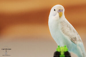 MISSING: BIRD PET BUDGIE at Mahogany Grove SE