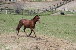 14 year old 15.2 HH QH mare for companion/light riding