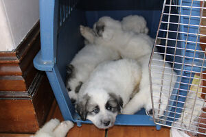 GREAT WHITE PYRENEES PUREBRED / ALL THE PUPPY'S WERE ADOPTED London Ontario image 7