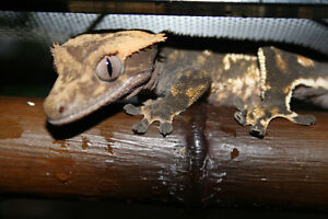 tres beau reptiles a vendre gecko crested ,léopards ,affrican