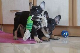 French Bulldogs - black and tan MALES