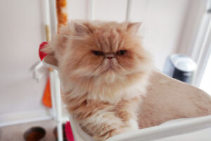 Gorgeous Persian Cat