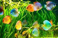 Discus Cichlids Fish - wanted