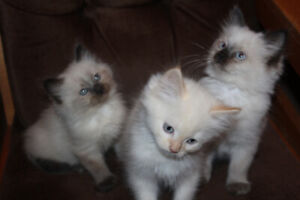 Ragdoll Kittns for Sale