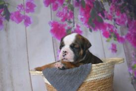 Beautiful litter of 9 olde english bulldogs
