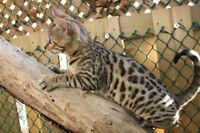 Purebred Bengal Kittens (TICA registered)