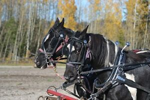 DRIVING/SADDLE HORSES FOR SALE