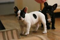 CKC reg'd French Bulldog puppies
