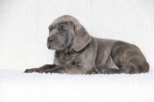 Cane Corso Puppies For Sale!!!  READY TO GO!!!