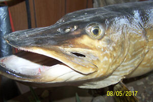 VERY LARGE 42 INCH LONG AND 21 INCHES ROUND NORTHERN PIKE