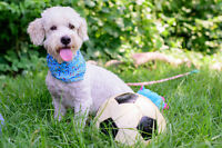 MICKEY - Poodle Mix Rescue Dog
