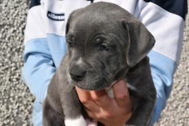 Blue staffy pups Staffordshirebull terrier