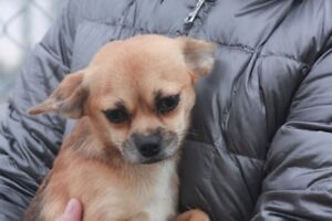 ADOPT LTTLE  EWA THE PEKENESE CHIHUAHUA  VISIT THE CARES SHELTER