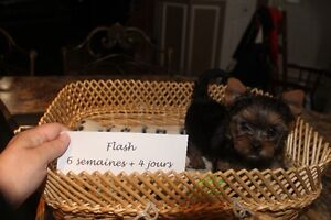 Chiots yorkshire**Yorkie puppy