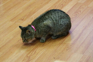 grey tabby cat  found with pink collar