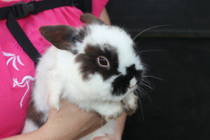mini lop cross netherland dwarf
