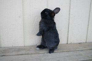 Purebred Black Holland Lop Bunny