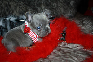 Registered Blue and tri pied French Bulldog puppies