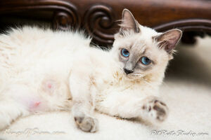 AB- Balinese Kittens available - Siamese lovers stay put
