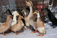 African gander for sale or exchange for female goose