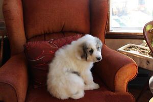 GREAT WHITE PYRENEES PUREBRED / ALL THE PUPPY'S WERE ADOPTED London Ontario image 1