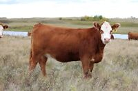 500 head Majestic Cattle Co. Cows/bred heifer production sale