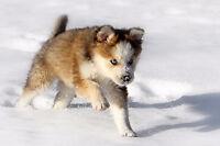 "Baby Male Dog - Border Collie-Husky:  ""Eli"""